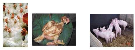 De tous les animaux d'élevage, les Européens estiment que certaines volailles sont les plus à plaindre. La promiscuité peut d'ailleurs créer des agressivités parfois très violentes. A droite, une poule déplumée par ses congénères. © ASG-Wur (NL) &cop