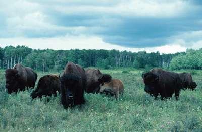 Il y a 500 ans, des dizaines de millions de bisons d'Amérique sillonnaient les plaines d'Amérique du nord. Puis sont arrivés les Européens, les barbelés et les fusils. Depuis, très peu de bisons subsistent à l'état sauvage. © University of Calgary