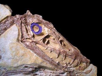 Les ptérosaures (comme ici Scaphognathus crassirostris) possédaient un anneau sclérotique (en violet) dont la taille suggère qu'ils étaient actifs pendant la journée. © Lars Schmitz, UC Davis
