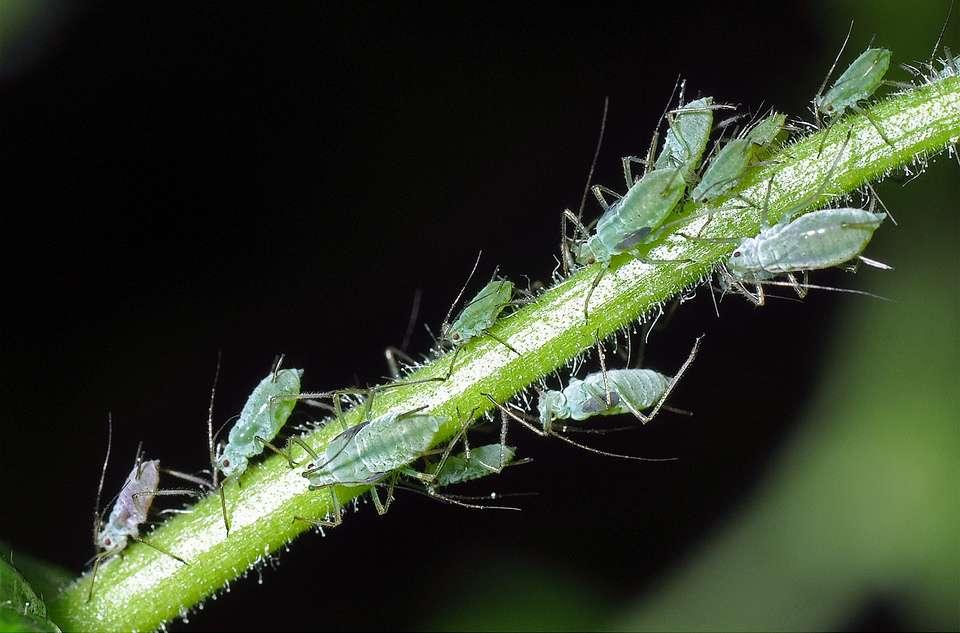 L'insecte Macrosiphum euphorbiae est communément appelé (entre autres noms) puceron vert et rose de la pomme de terre, car cette espèce vit entre autres sur cette plante. Sa population peut doubler en seulement 2,4 à 2,7 jours... s'il ne pleut pas. © cquintin, Flickr, cc by nc 2.0