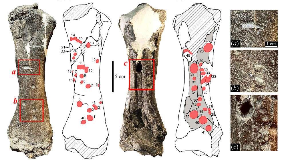 Les multiples traces de morsure présentes sur le tibia de cet animal. © Pujos et Salas-Gismondi, 2020