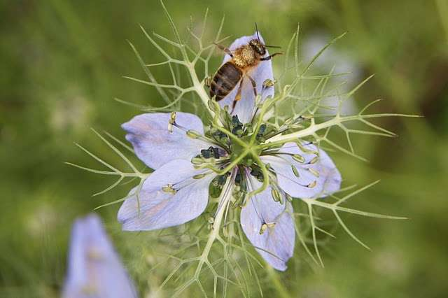 Le cocktail champignon pathogène + insecticide est particulièrement nocif pour les abeilles et pourrait expliquer en partie le syndrome d'effondrement des colonies. © Bruno Scala / Futura-Sciences, droits réservés