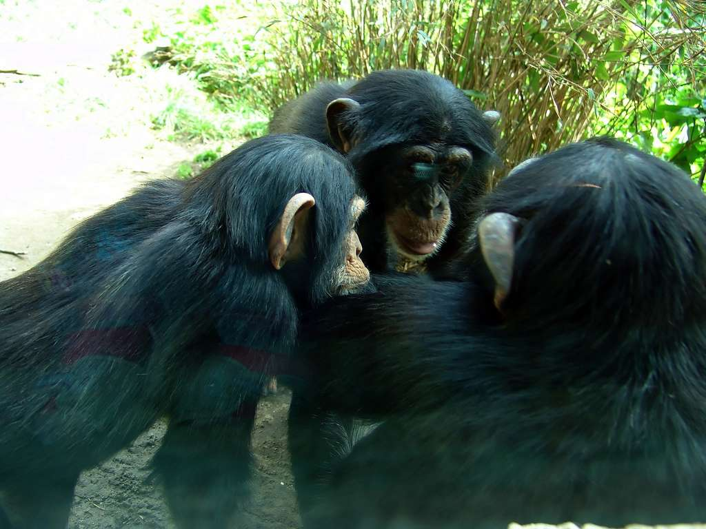 Les chimpanzés communs adultes mesurent entre 1,3 et 1,6 m et pèsent de 40 à 65 kg (pour les mâles). Ils atteignent la puberté vers 10 ans. Leur espérance de vie serait d'environ 50 ans en captivité. © Joachim S. Müller, Flickr, cc by nc sa 2.0