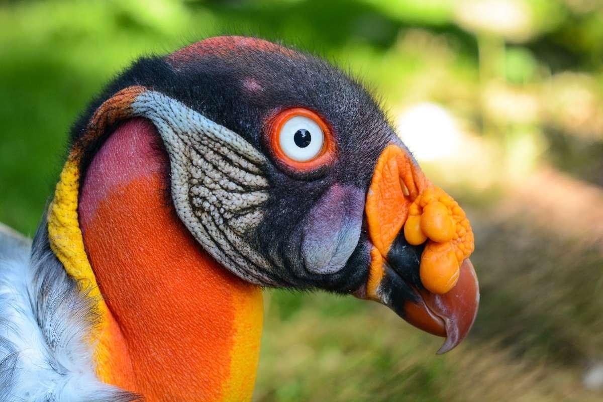 Le sarcoramphe roi, ou vautour pape, est le seul représentant actuel du genre Sarcoramphus. Ce charognard vivant sur le continent américain joue un rôle majeur dans les écosystèmes des forêts primaires et secondaires. © Olaf Oliviero Riemer, Wikimedia Commons, cc by sa 3.0