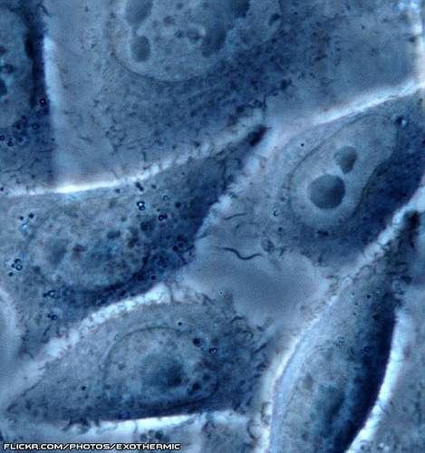 Observation de cellules au microscope à contraste de phase. © Exothermic, CC by-nc-sa 2.0