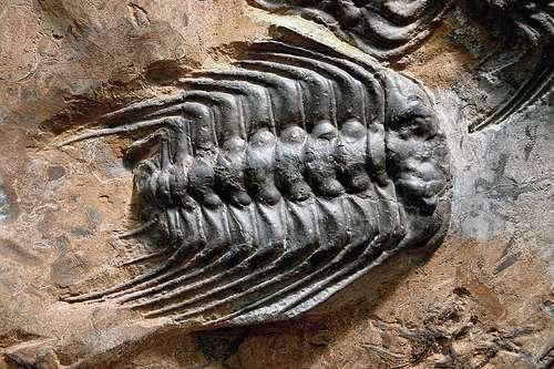 Les arthropodes comme ce trilobite fossile sont des triblastiques. © kevinzim CC by-nc 2.0