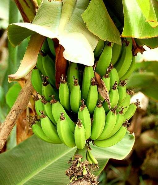 Les bananeraies des Antilles françaises ont été traitées pendant plus de 20 ans par un insecticide toxique, le chlordécone. © Enzik / Licence Creative Commons