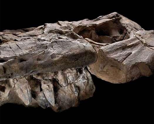 Thalattoarchon saurophagis, dont la cavité orbitale et certaines dents sont visibles sur cette photographie, occupait une position dans les chaînes alimentaires du Mésozoïque similaire à celle des actuels orques et requins blancs. © John Weinstein, The Field Museum, Chicago