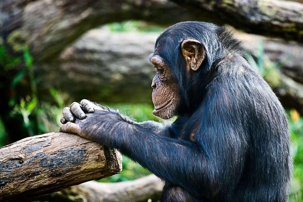 Ce chimpanzé (Pan troglodytes) va-t-il se jeter à l'eau ? En tout cas, il sait nager et même faire des apnées. © irishwildcat, Flickr, cc by 2.0