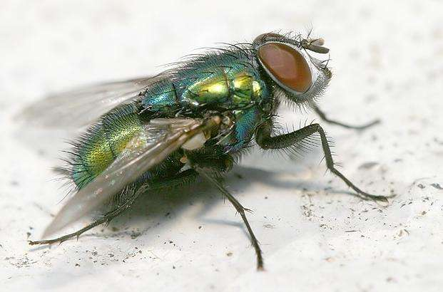 Certains insectes s'habituent aux poisons. © Steel