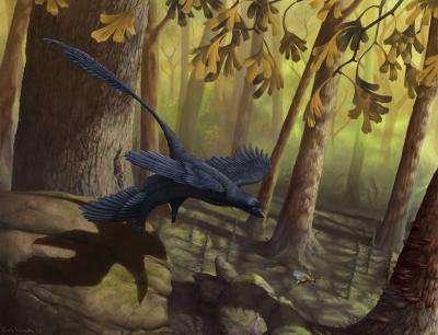 Le Microraptor, tel qu'on le représente à l'American Museum of Natural History, à New York. Ce reptile ailé vivait entre 130 et 125 millions d'années avant notre ère. Principale originalité : des ailes sur les pattes arrière, une formule oubliée depuis longtemps… © Emily Willouhby
