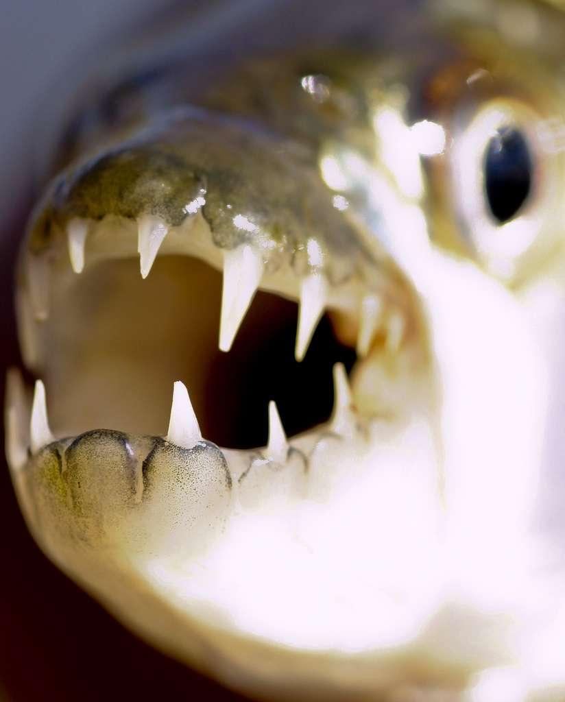 Les poissons-tigres africains Hydrocynus vittatus peuvent atteindre 1 m de long (pour les mâles), et peser jusqu'à 28 kg. © Brian.Gratwicke, Flickr, cc by nc 2.0