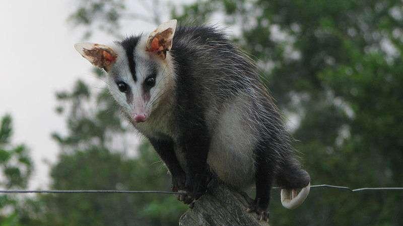 L'opossum à oreilles blanches se trouve sur l'ensemble du continent sud-américain, du Brésil à l'Argentine. © Alex Popovkin, Wikimedia Commons, cc by 2.0