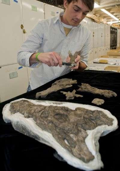 Alex Hastings, du Florida Museum of Natural History, mesure un fragment de mâchoire d'un ancien crocodile qui vivait il y a 60 millions d'années. Cet os provient du même site que les fossiles de titanoboa. Ce crocodile devait donc sûrement être l'une des proies du serpent géant. © Jeff Gage / Université de Floride