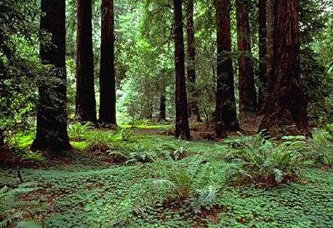 Forêt de séquoias dans le Muir Woods National Monument. Crédit Commons.