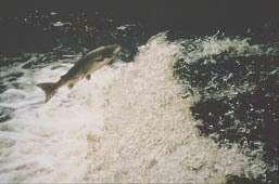 © INRA - Frédéric MarchandSaut d'un barrage par un saumon sur la rivière Oir
