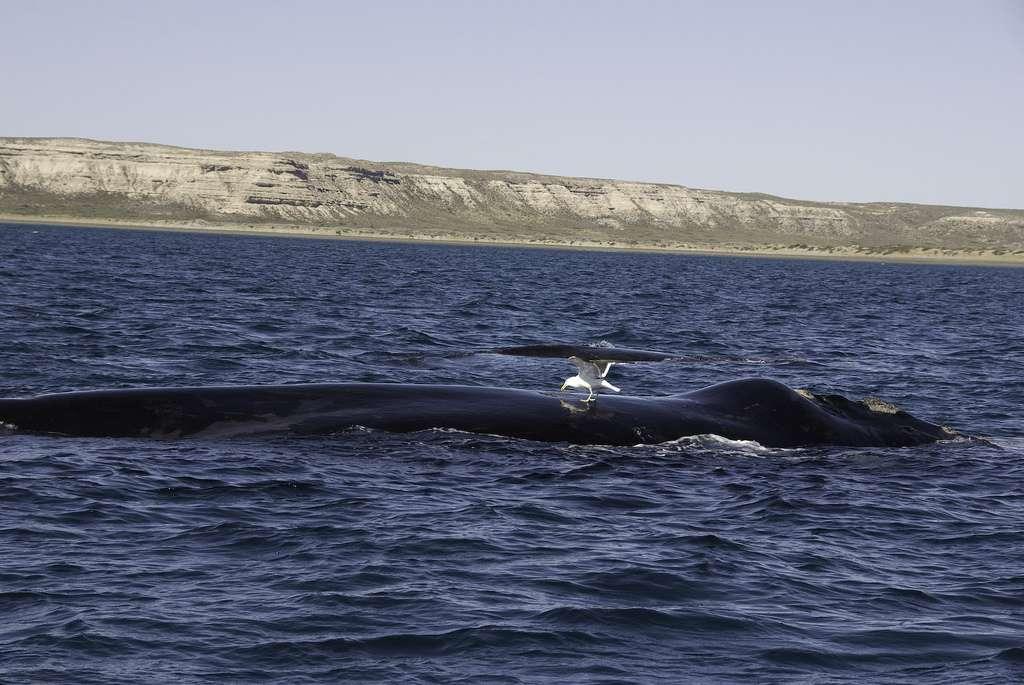 Au sein du genre Eubalaena, trois espèces différentes se côtoient : la baleine franche du Pacifique Nord (Eubalaena japonica), la baleine franche de l'Atlantique Nord (Eubalaena glacialis) et la baleine franche australe (Eubalaena australis, à l'image). Les deux espèces de l'hémisphère Nord ont été chassées au XIXe siècle et sont actuellement menacées d'extinction. © plb06, Flickr, cc by nc sa 2.0