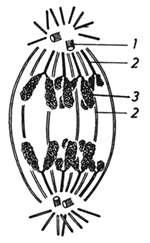 Schéma de la séparation des chromosomes durant la division cellulaire.1. Les centrosomes2. Microtubules3. Chromosomes