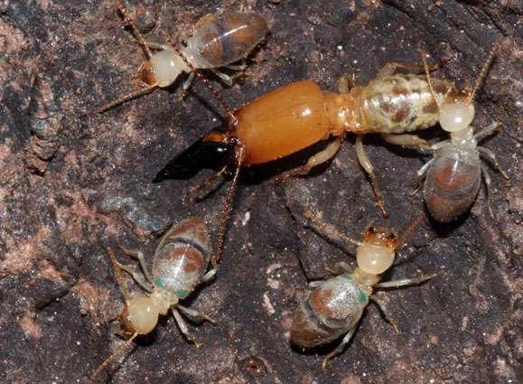Des termites Neocapritermes taracua. Le gros individu, avec sa tête orange, est un soldat. Les autres sont des ouvriers. Celui en haut de l'image à droite est plus âgé et porte à l'arrière du thorax, dans un repli de cuticule, deux cristaux bleus. En bas à gauche, un jeune ouvrier n'arbore pas les taches bleues. Il n'a pas encore l'âge d'être un kamikaze. © R. Hanus
