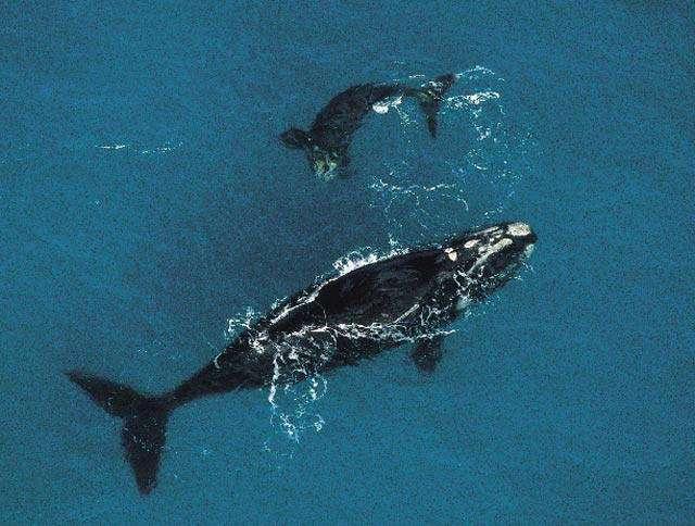 Une baleine franche australe et son petit. Particulièrement chassée au 19è siècle (ces animaux riches en graisse donnent beaucoup d'huile et flottent une fois tués), cette espèce a vu ses populations augmenter un peu dans plusieurs régions. © IWC