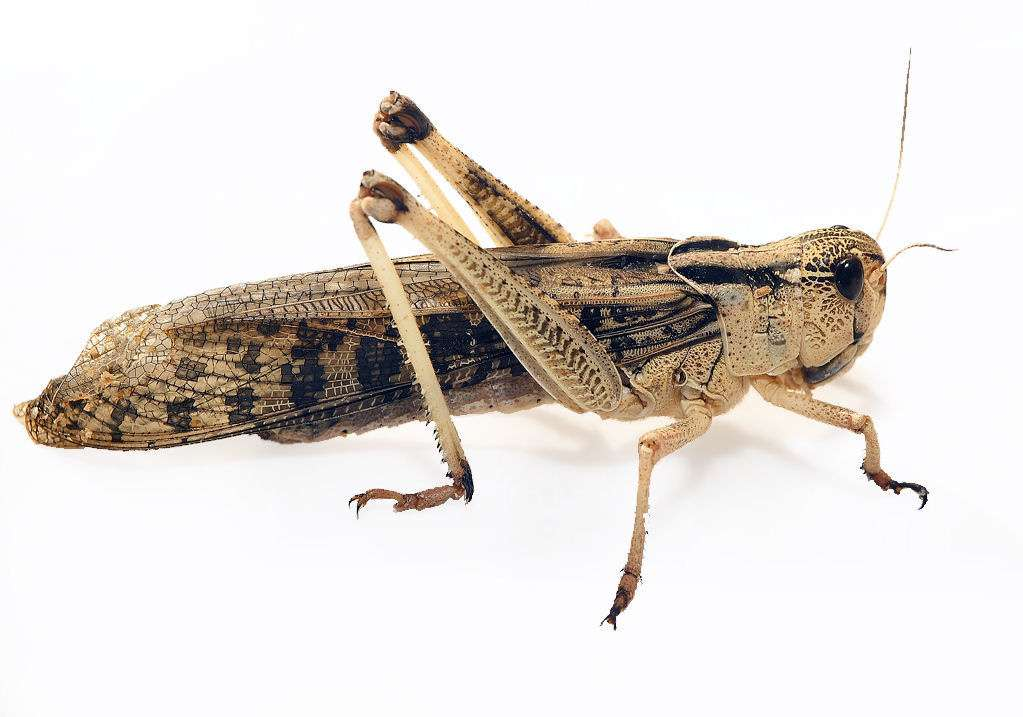 Les criquets migrateurs Locusta migratoria manilensis sont des insectes orthoptères de la famille des acrididés. Avec les criquets pèlerins et nomades, ils composent en partie le groupe des locustes. © Manfred Beutner, Flickr, cc by nc nd 2.0