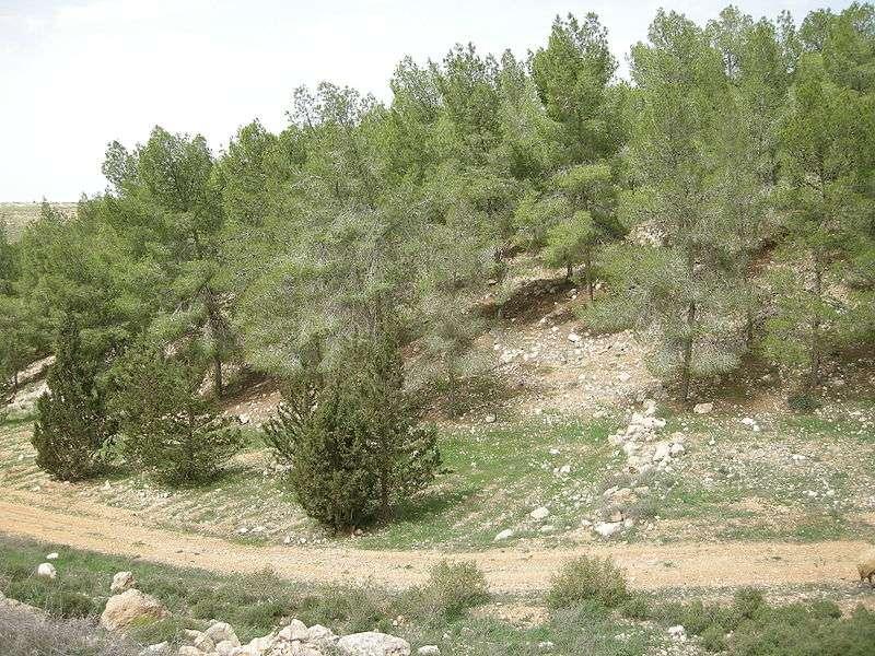 Forêt semi-aride de Yatir (Israël), réservoir de carbone… et de chaleur. © Yoavd, domaine public