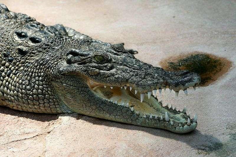 Le crocodile marin, Crocodylus porosus qui peut mesurer jusqu'à 5,5 mètres, est le plus grand des crocodiliens. Il possède également la force de morsure la plus importante. © AngMoKio, Wikipédia, cc by sa 2.5