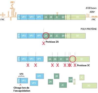 La polyprotéine du poliovirus est clivée d'abord par la protéase 2A, puis par la protéase 3C, donnant naissance à une dizaine de protéines plus petites. © UCL / Licence Creative Commons