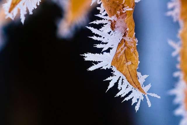 Cristaux de gelée blanche sur une feuille morte. © Fiedeldey CC by-nc-nd 2.0