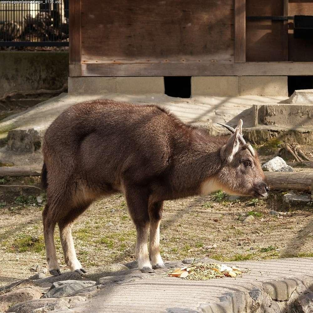 Un goral d'Himalaya, aux poils bruns. © Licence Commons