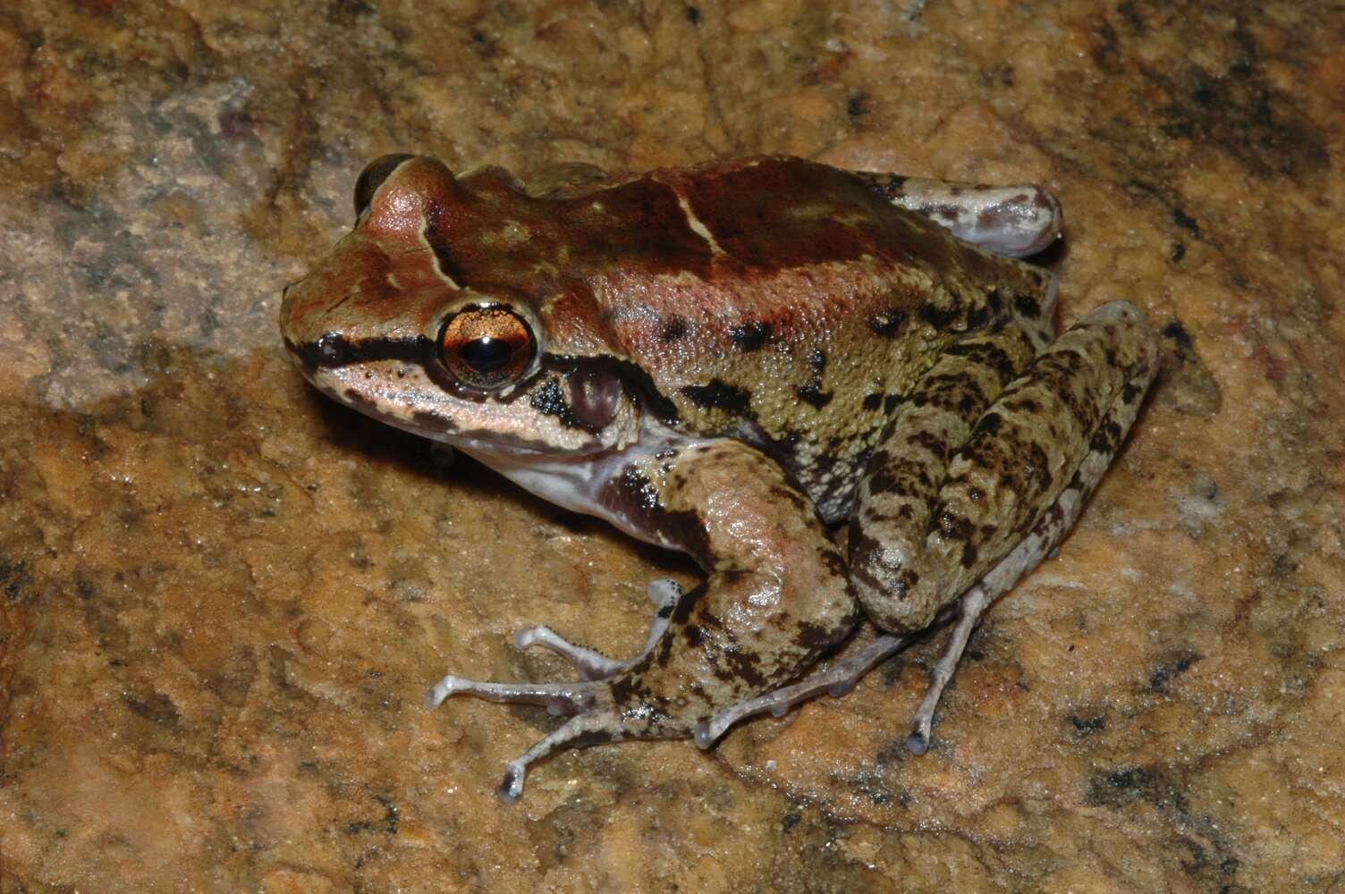 Thoropa Taophora est une grenouille vivant au Brésil. © Fábio de Sá