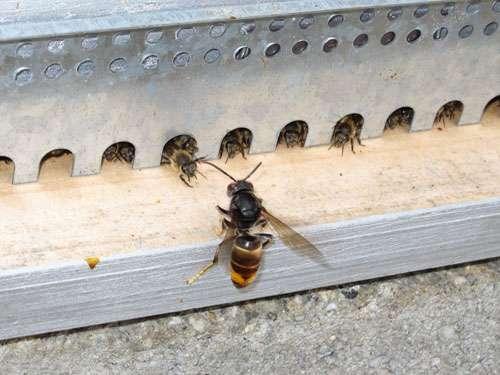 Frelon asiatique, Vespa velutina, devant une ruche à l'affut de ses proies © Denis Thiery, Nevile Maher