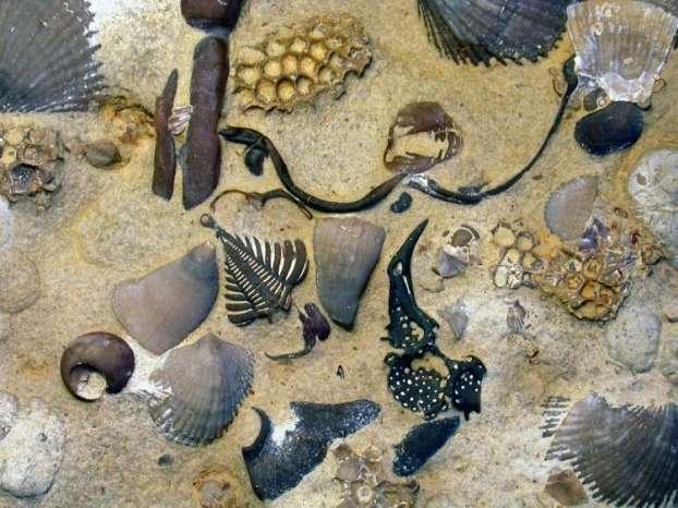 Surface d'un calcaire à trilobites, brachiopodes, coraux rugueux et tabulés, gastéropodes, etc,. de la formation Jupiter datant du Silurien inférieur, sur l'île d'Anticosti, au Québec. © Axel Munnecke, Universität Erlangen-Nürnberg