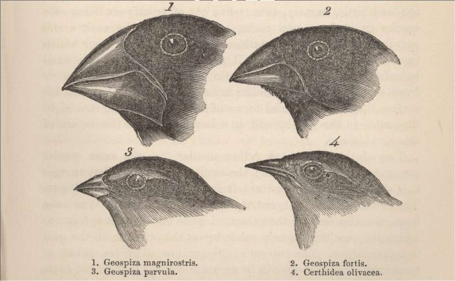 On ne présente plus les pinsons de Darwin... © The Complete Work of Charles Darwin Online