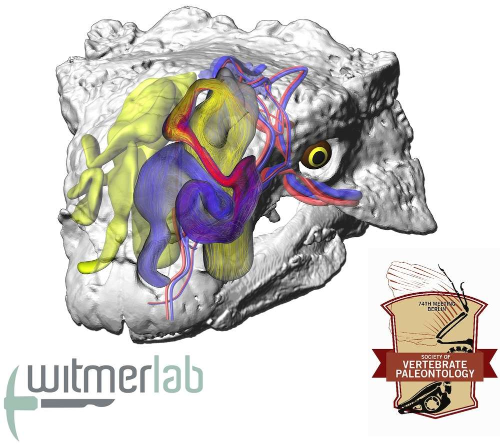 L'air circulant par les voies nasales sinueuses de cet ankylosaure modélisé (Euoplocephalus tutus) refroidirait le sang dirigé vers le cerveau. © Witmer Lab