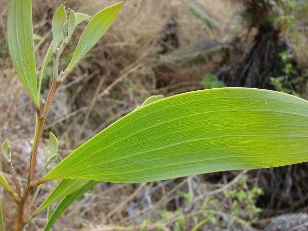 Phyllode d'un Acacia koa d'Hawaï. On reconnaît la structure d'un pétiole et non d'une feuille à la disposition des nervures : parallèle. © Forest & Kim Starr CC by 3.0