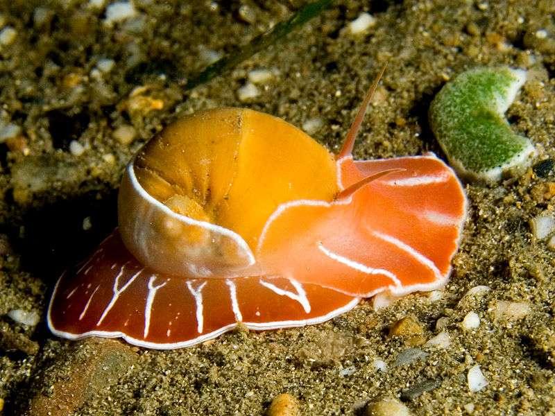 Naticarius orientalis est un mollusque marin qui vit sur les côtes du Timor oriental. C'est un mollusque nocturne qui passe ses journées sous le sable. On remarque son manteau aux couleurs vives qui recouvre sa coquille. © Nick Hobgood CC by-sa