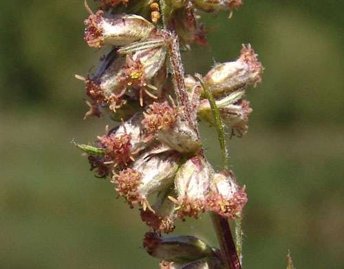 L'armoise, une plante digestive dont le nom russe se prononce « tchernobyl ». © florealpes.com