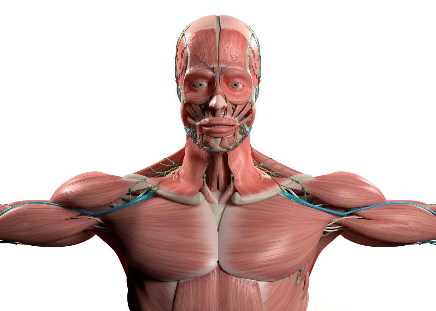 Il existe des muscles rotateurs au niveau de l'épaule mais aussi du dos, de la hanche (carré de la cuisse) ou encore de l'œil (petit et grand rotateurs). © Wief, Shutterstock
