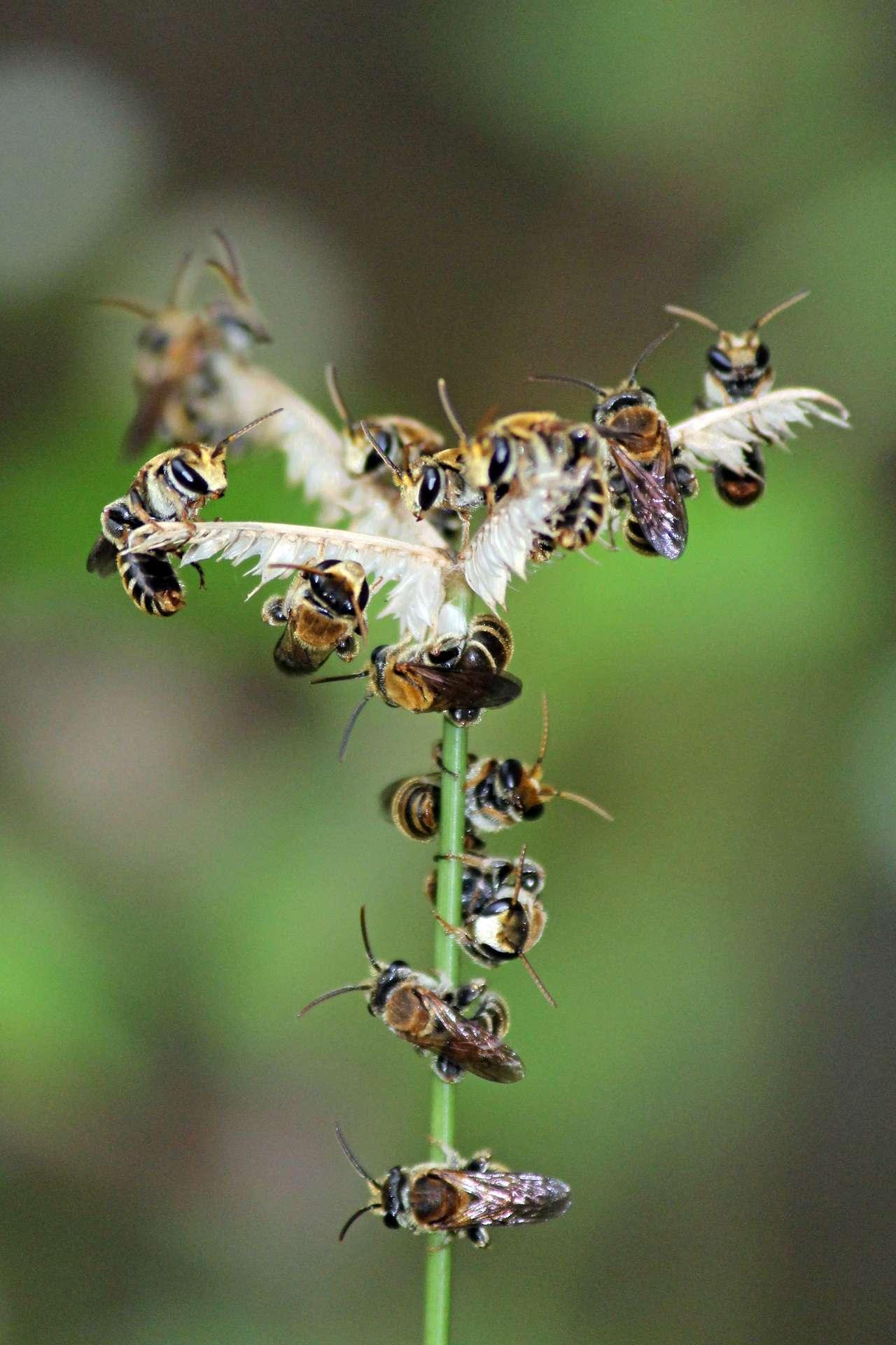 Les « abeilles de la sueur » sont des abeilles appartenant à la famille des Halictidae, connues pour aimer les larmes et la sueur des animaux. Elles vivent partout dans le monde. Les espèces les plus petites font moins d'un centimètre. © Rison Thumboorn, Wikimedia Commons, CC By-2.0