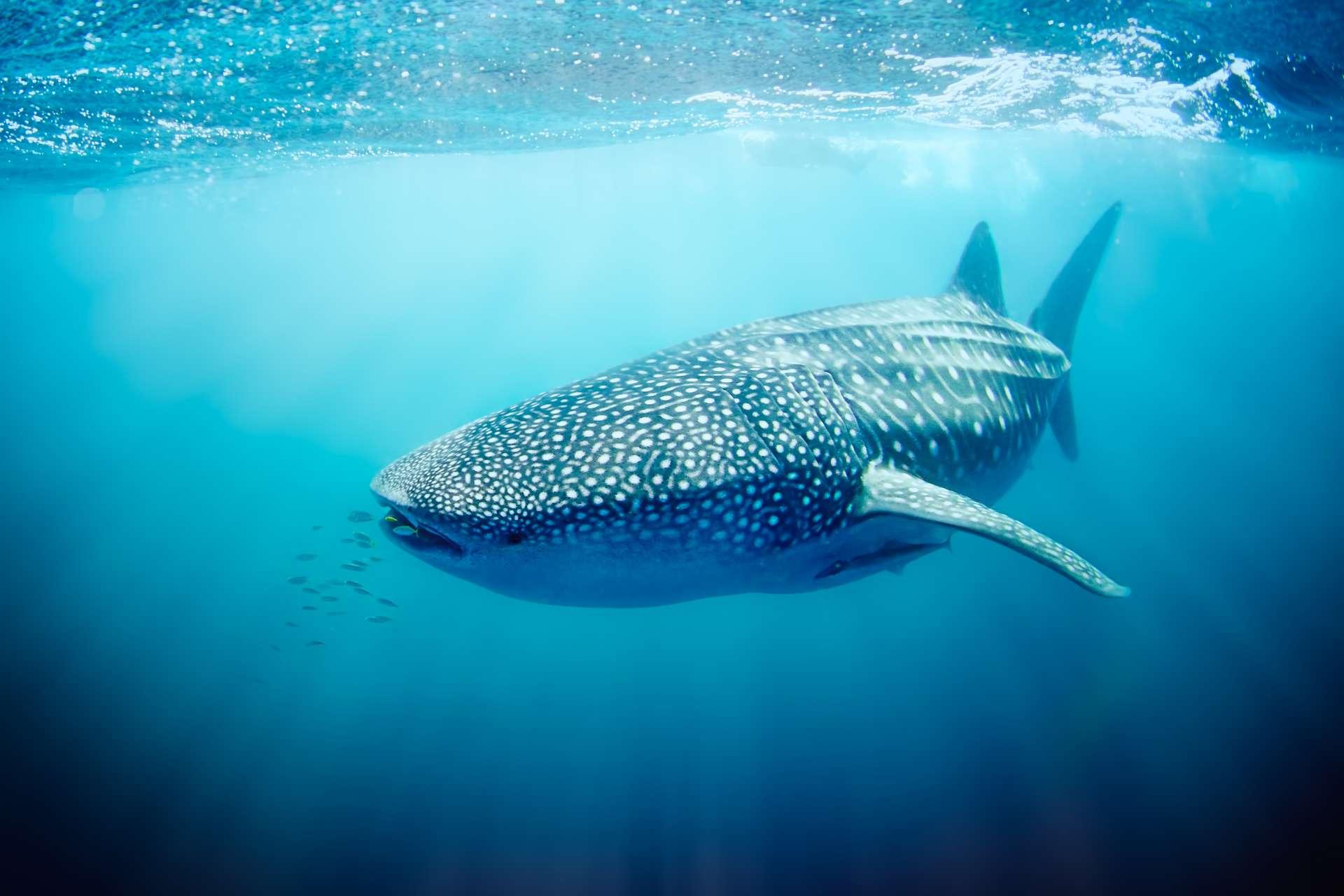 Les requins baleines peuvent atteindre jusqu'à 20 mètres de long ! © Alex, Adobe Stock