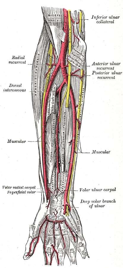 Entre l'artère radiale et l'artère ulnaire, une troisième artère devient de plus en plus fréquente chez l'humain : l'artère médiane. © Henry Vandyke Carter et Henry Gray, Wikimedia Commons