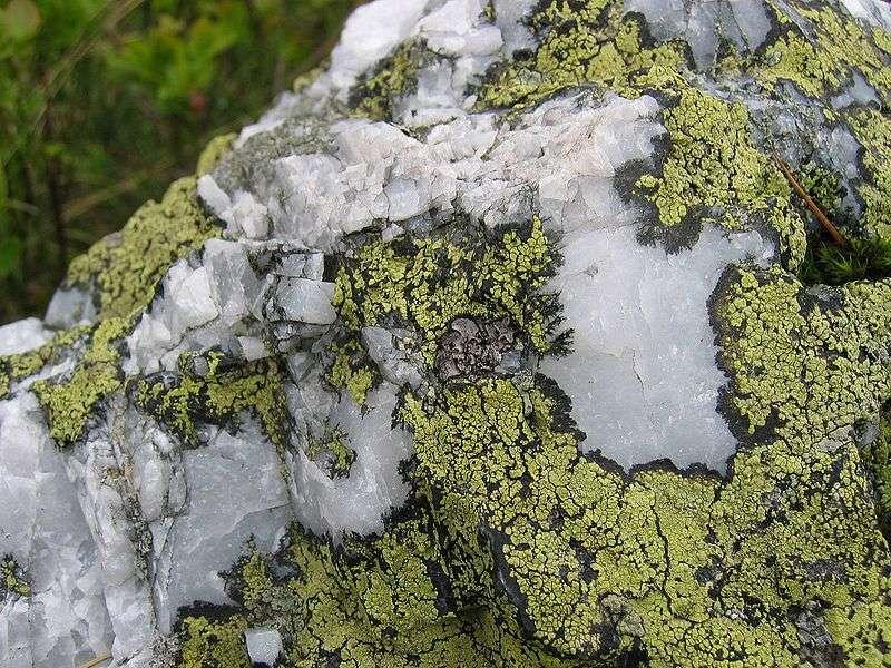 Rhizocarpon geographicum est un lichen qui pousse sur du quartz, il est donc lithophyte. © tigerente, Wikipédia, cc by sa 3.0