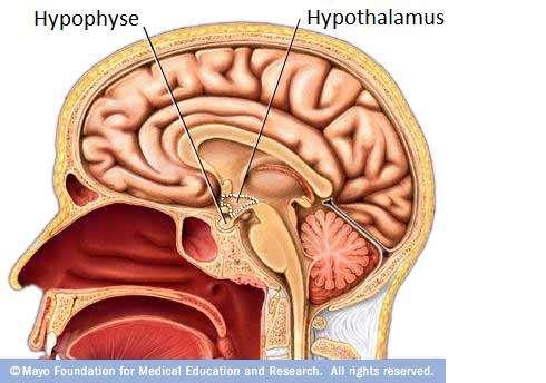 L'hypothalamus est une zone du cerveau qui interagit étroitement avec l'hypophyse. © Mayo