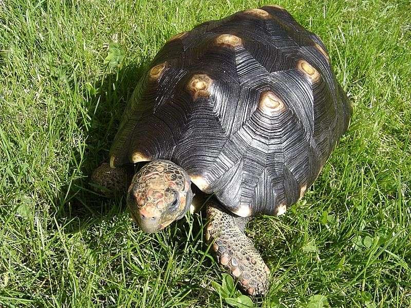 En langue tupi-guarani, la tortue charbonnière à pattes rouges est appelée jabuti piranga. © E. Schüler, Wikipedia, GNU 1.2