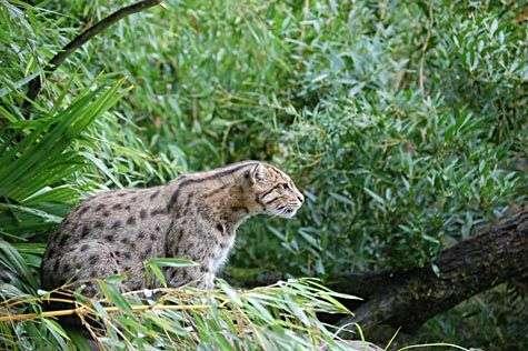 Le Chat viverrin, ou Chat pêcheur, tel qu'on ne le verra peut-être bientôt plus. Crédit UICN
