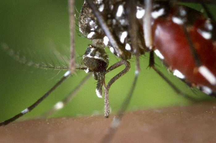 Le moustique Aedes albopictus est un des vecteurs de la maladie. © DR
