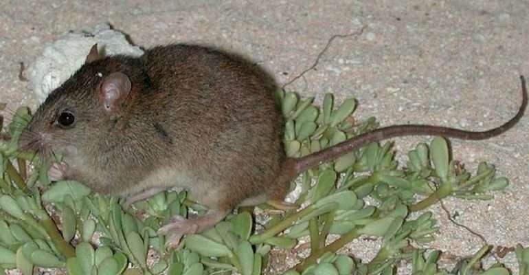 Melomys rubicola est le premier mammifère dont l'extinction est imputée au changement climatique. ©️ Ian Bell, EHP, State of Queensland, CC By 3.0 AU