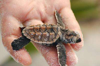 La tortue imbriquée est une espèce en danger critique, en grande partie en raison du commerce de l'écaille. Parce que les tortues vivent sous l'eau, et souvent loin des côtes, nous avons peu de connaissances sur leurs habitudes de reproduction. Des échantillons d'ADN ont récemment apporté quelques éléments de compréhension qui aideront peut-être à la conservation de l'espèce. © Karl Phillips
