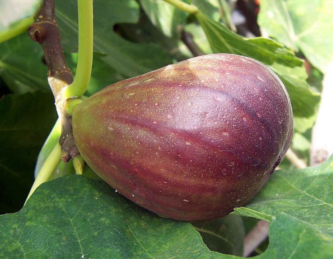 La figue est un fruit typiquement méditerranéen riche en minéraux. © Wikimedia Commons